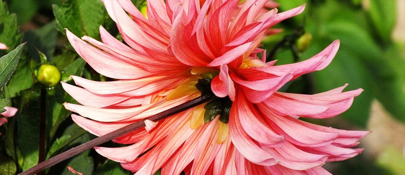Dahlia: Online Photo Slideshow