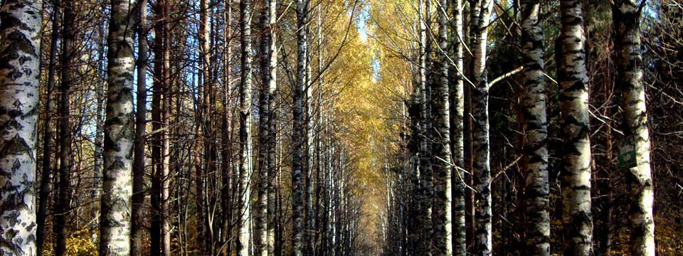Birch trees in autumn : HTML Picture Slider