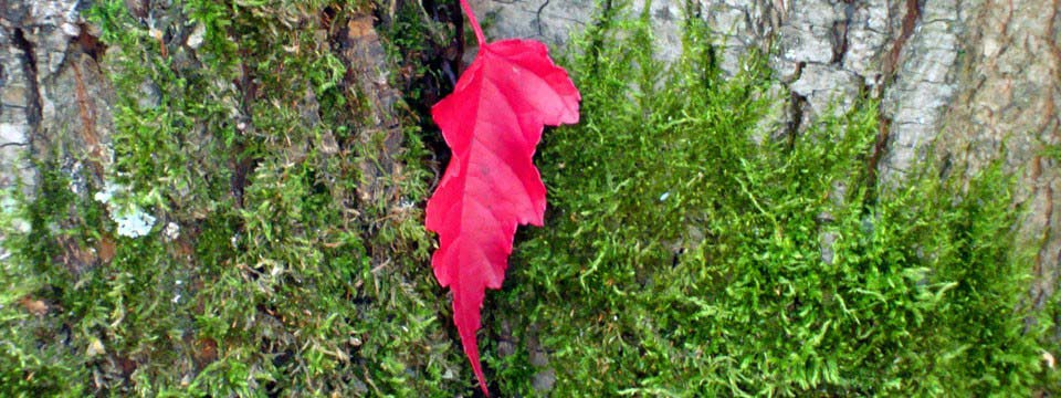 Red leaf : Picture Slider