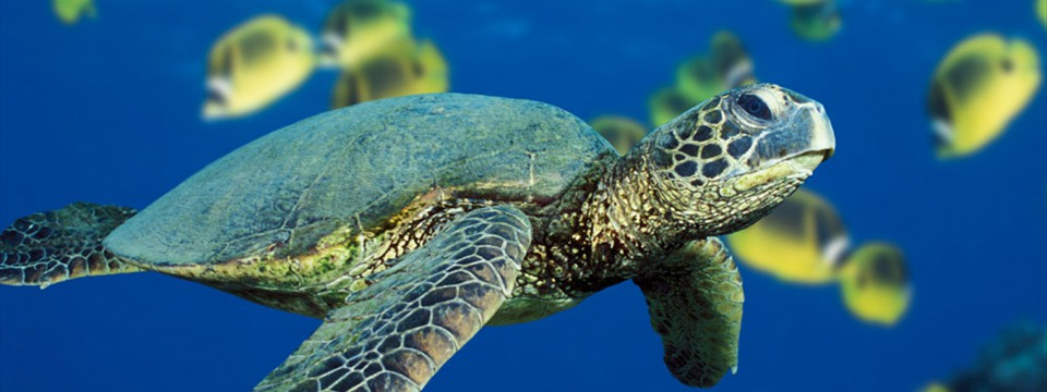 Green Sea Turtle ken burner putting two same page