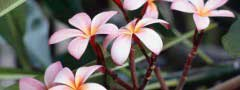 frangipani_flowers jquery slider