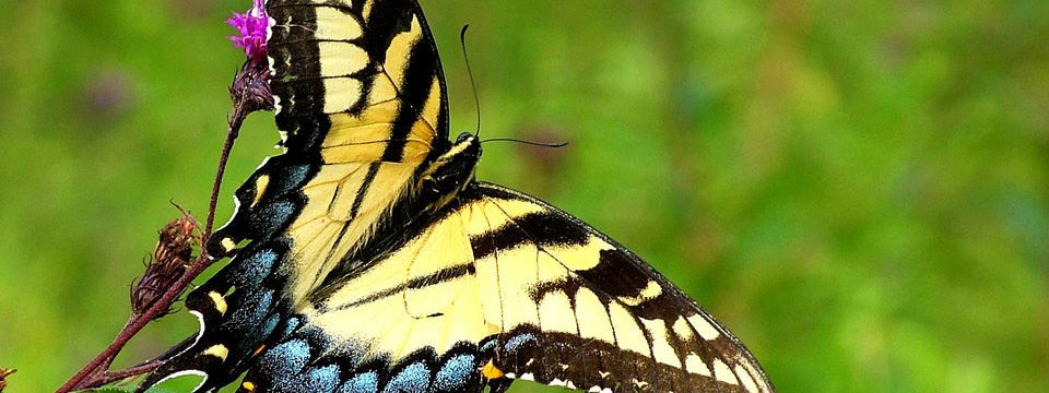 Butterfly on the ironweed :free with pagination images auto scrolling