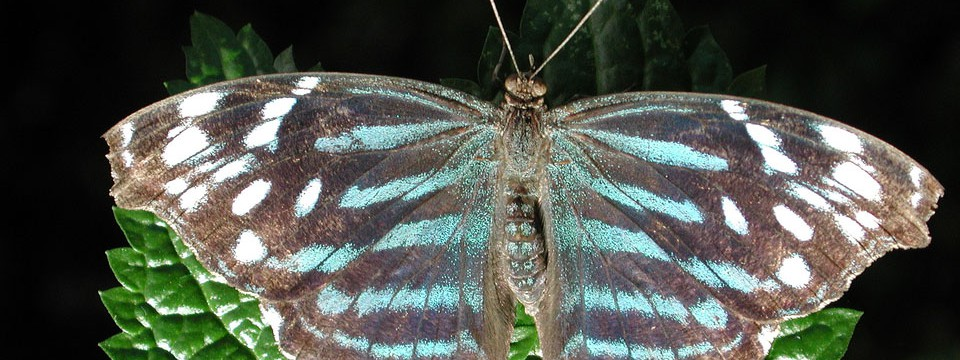 Fantastic butterfly : rotation click con