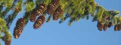 strobiles on a spruce