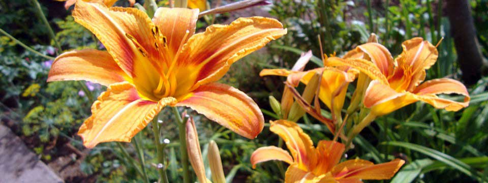 lilies simple text image video viewer