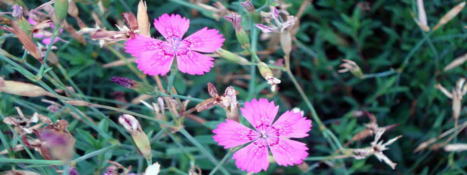 pink flowers ticker image starts at last image