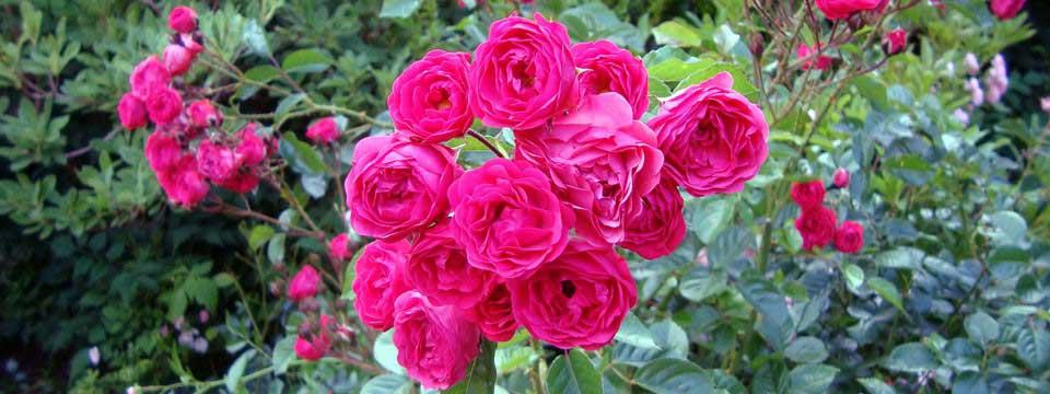 roses simple css slider