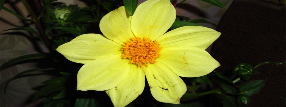 yellow dahlia slider css code