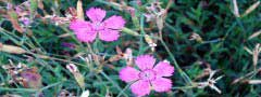 pink flowers jquery slider example