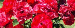 red roses image with different