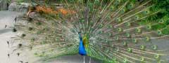 Nice peafowl