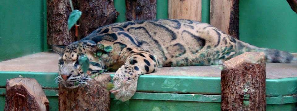 Clouded leopard banner rotator wordpress