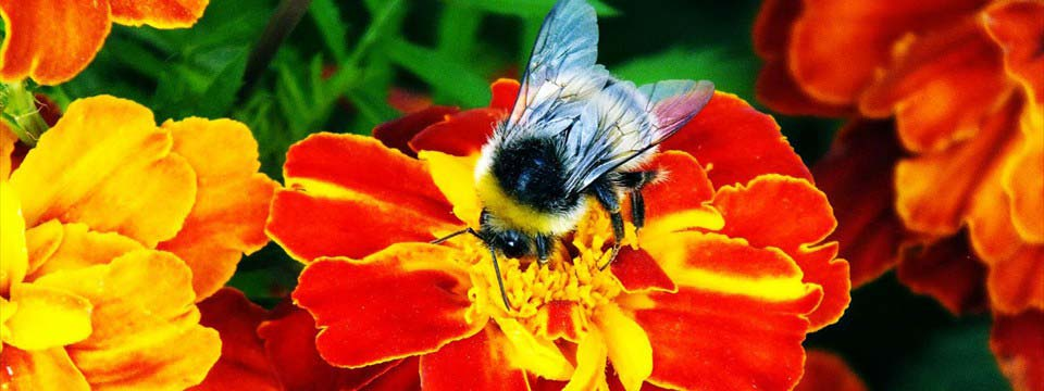Bumblebee on the flower html picture slideshow