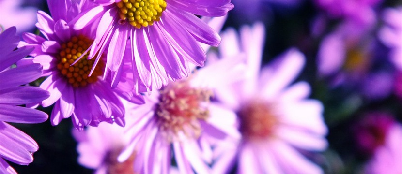 Chrysanthemums image slideshow javascript