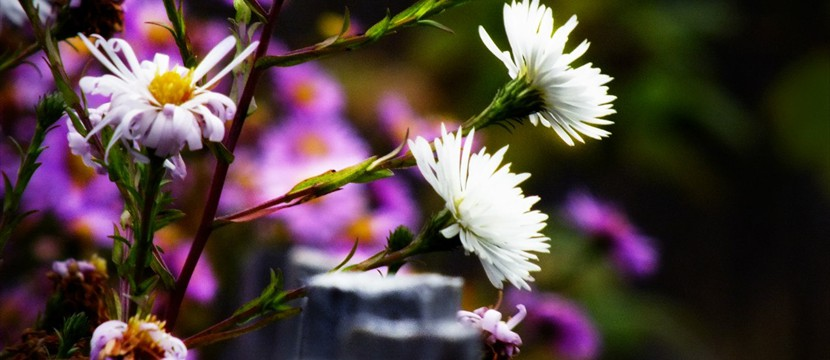 European Michaelmas Daisy html photo slideshow