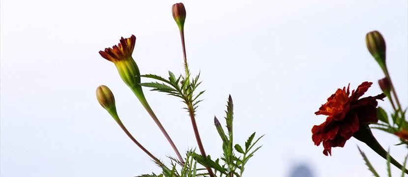 Marigold image slideshow online