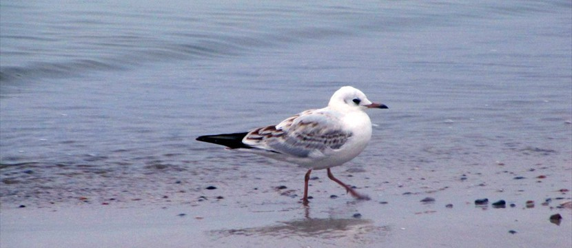 Seagull image gallery scroller simple effects js