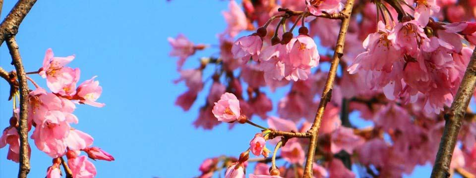 Cherry blossom banner maker app