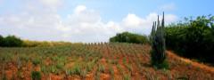 Aloe Vera plantation