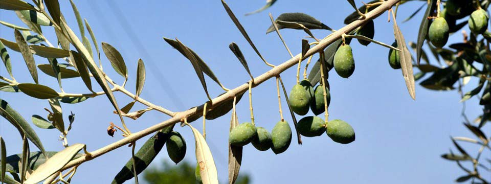 Olive tree image gallery html
