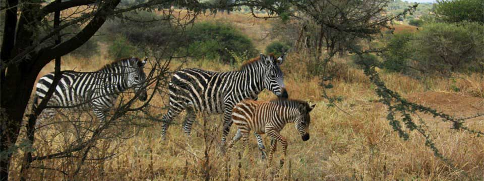 Zebras photo slideshow creator free download
