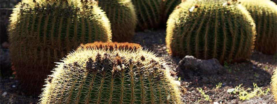 Cactuses, Canary Islands javascript slider