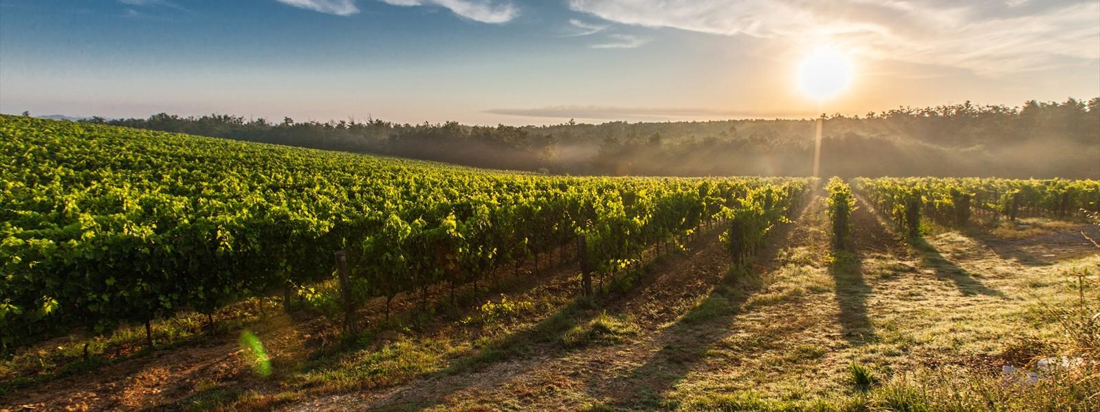 Grape field in Toscana : responsive carousel slider